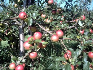 A good crop on a well-tended apple tree