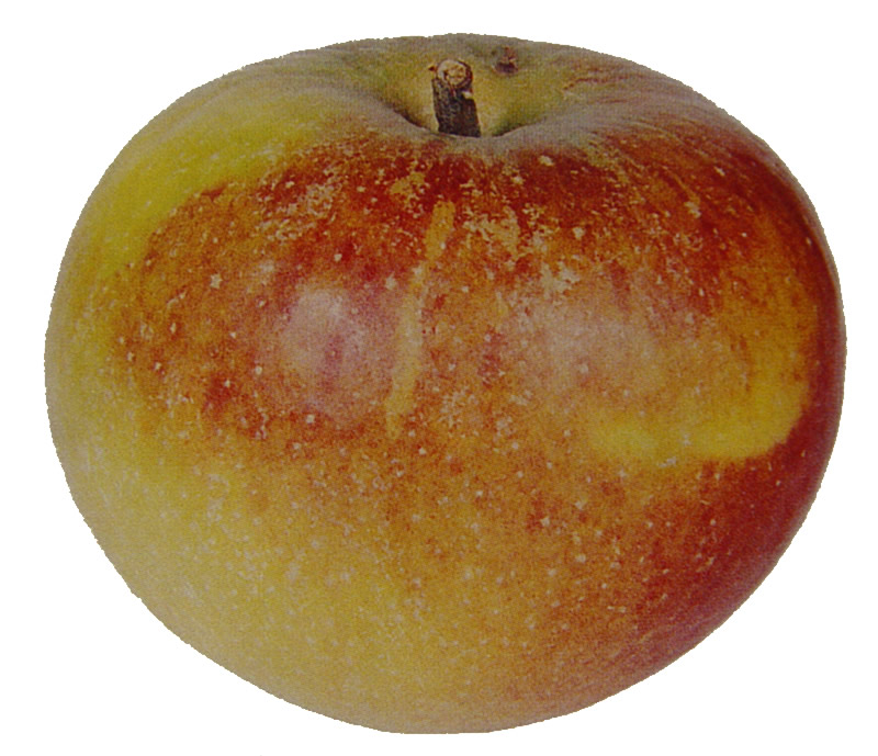 Cox S Orange Pippin Realenglishfruit