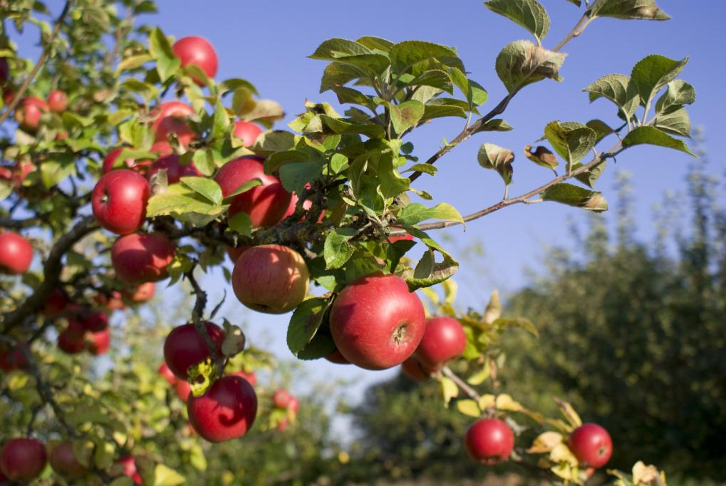 Growing fruit trees hints and tips realenglishfruit - Planting fruit trees in autumn ...