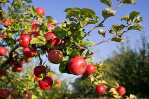 The rewards of a well-tended orchard