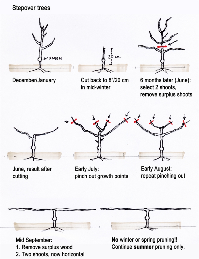 Asian pear tree root structure