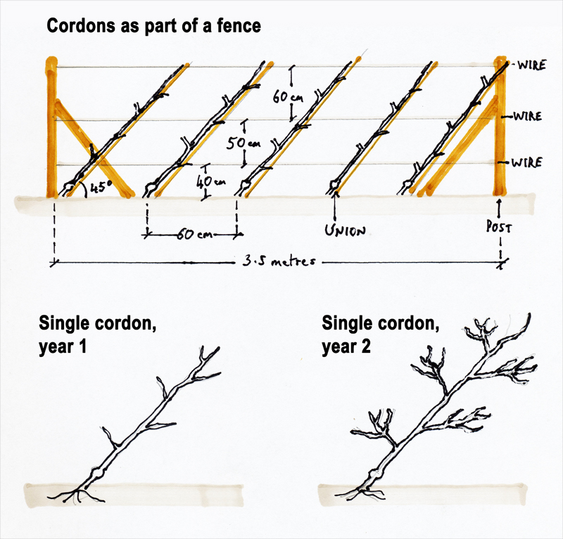 The Cordon System Of Tree Training Realenglishfruit