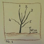 Fruit tree development, year 1