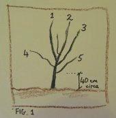Fruit tree development, year 1