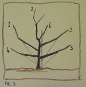Fruit tree development, year 2