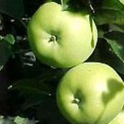 Doctor Harvey cooking apple
