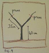 Fan tree, year 2