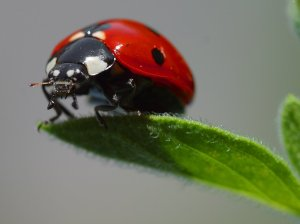 Ladybird, an efficient predator