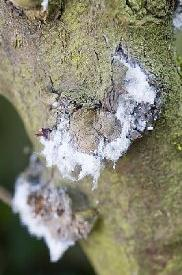 Woolly aphid on apple tree