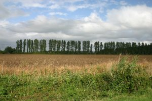 Poplars used as a windbreak
