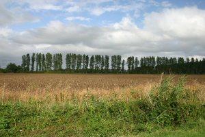 Poplars used as a windbreak