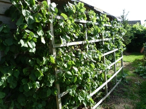 Apricot, espalier-trained
