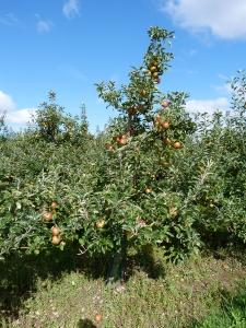 Orchard hygiene