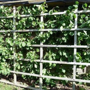 Frame for fleece on an espalier tree