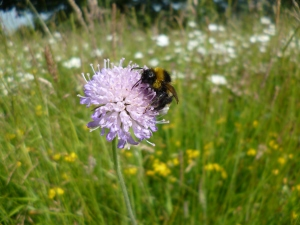 A bumble bee in a wild flower meadow