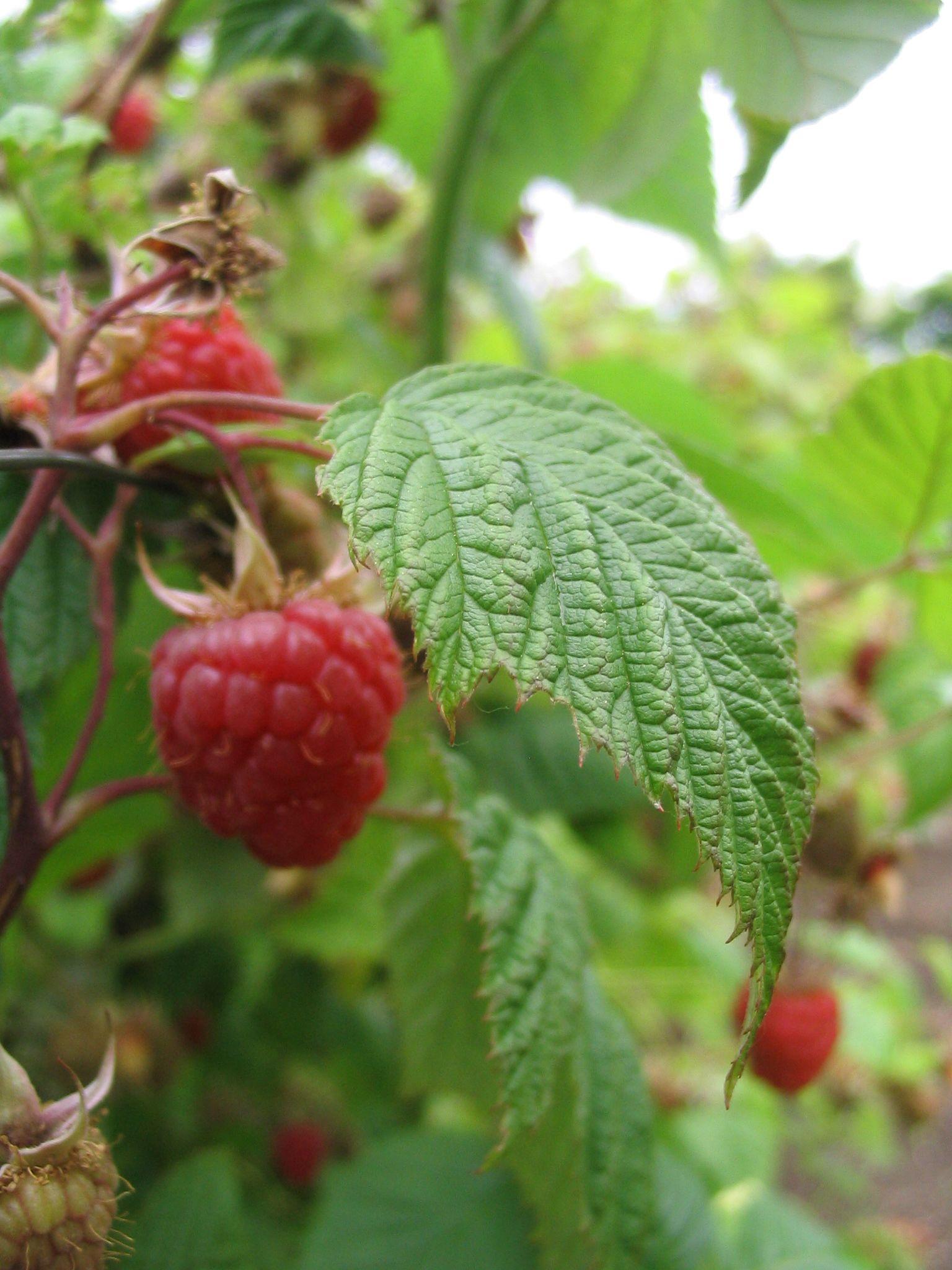 Raspberry ordinary. Care, growing, planting 33