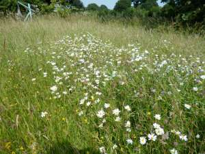 Wildflower meadow, dog daisies