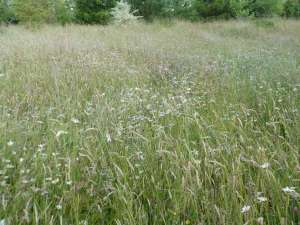 Wildflower meadow, many different grasses