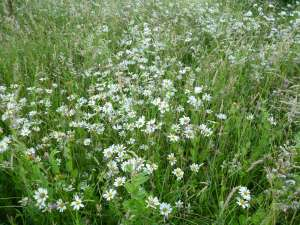 Wildflower meadow, more dog daisies