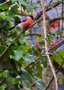 A bullfinch, photo courtesy of Paul Starkey/flickr.com