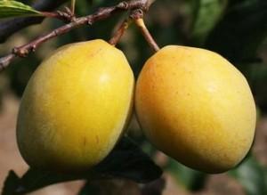 Coes Golden Drop, photo courtesy of ediblegardens.co.nz