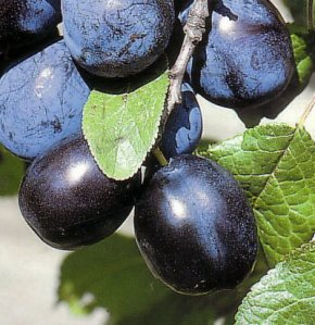 Merryweather Damson, photo courtesy of the-plant-directory.co.uk