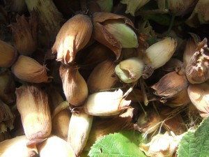 Cobnuts, photo courtesy of Ida@Sustain/flickr.com