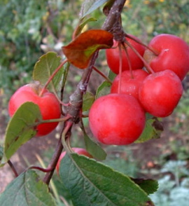 Malus robusta, photo courtesy of Jukka Heinonen/flickr.com