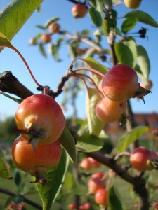 Malus evereste crab apple, photo courtesy of Stadtkatze/flickr.com