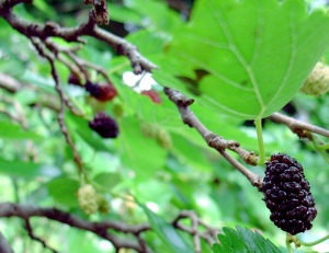 Mulberry, photo courtesy of Cantaloupe Alone/flickr.com