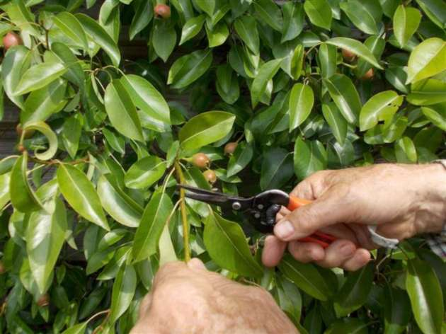 Cutting the young shoot back to the 3-5 leaf stage
