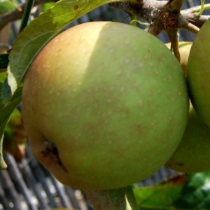 Herefordshire_Russet