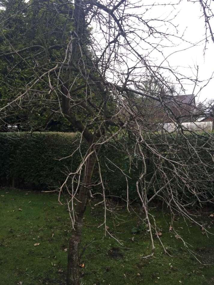 An old plum tree