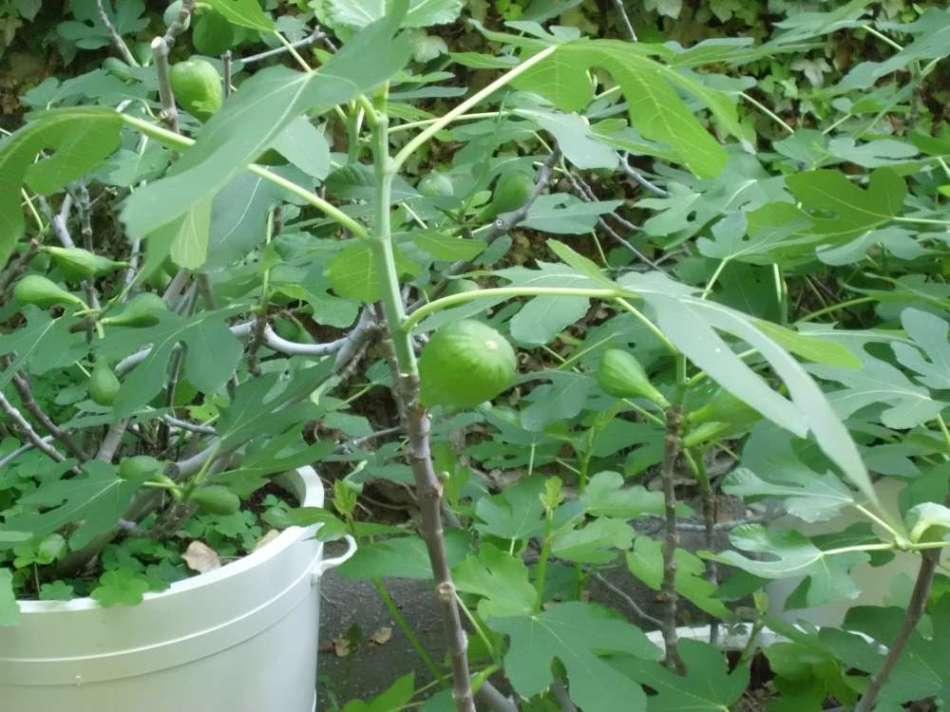 Figs in pots