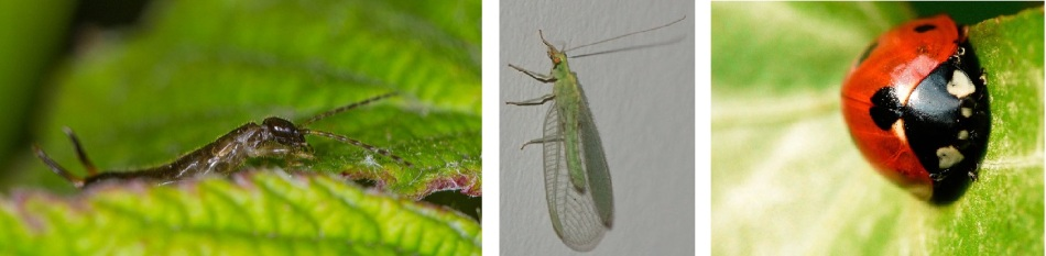 Earwig, lacewing, ladybird, the goodies on your fruit trees