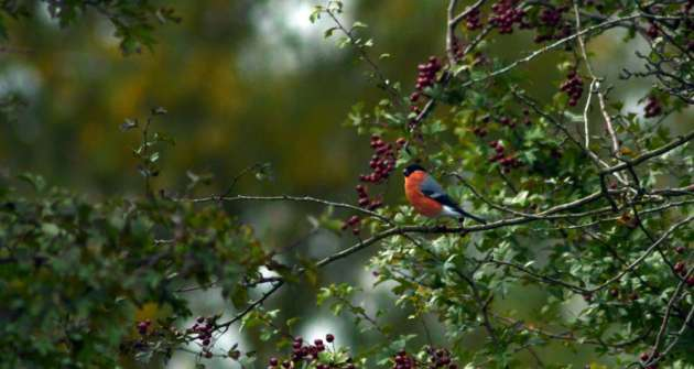 Bullfinch by Jacob Spinks flickr