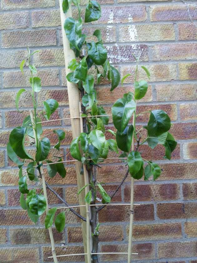 young espalier pear