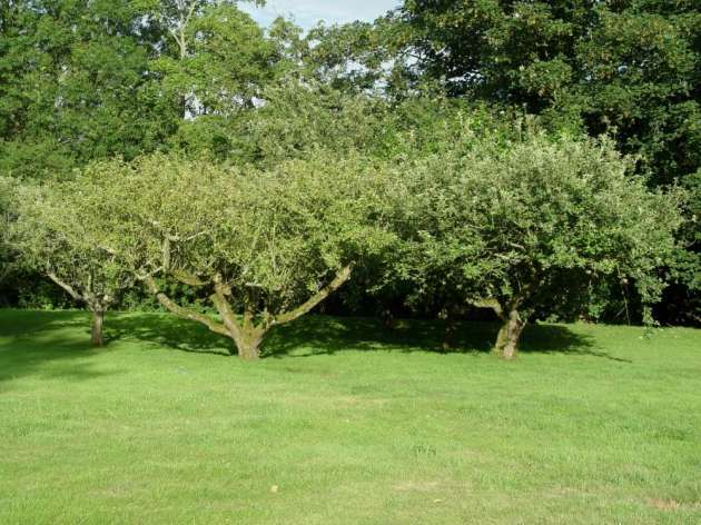 Old fruit trees in a Suffolk garden