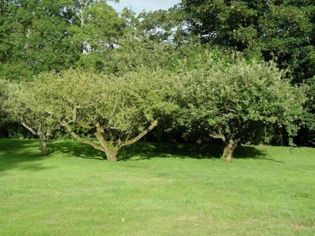 Old fruit trees in a Suffolk garden