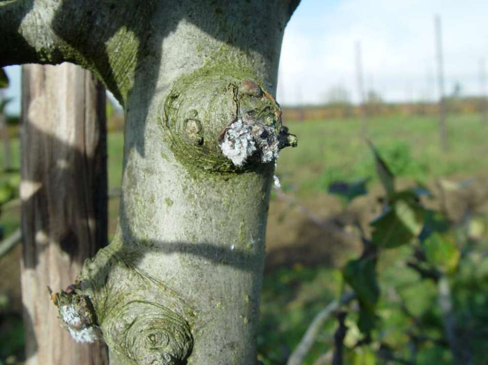 Woolly aphid